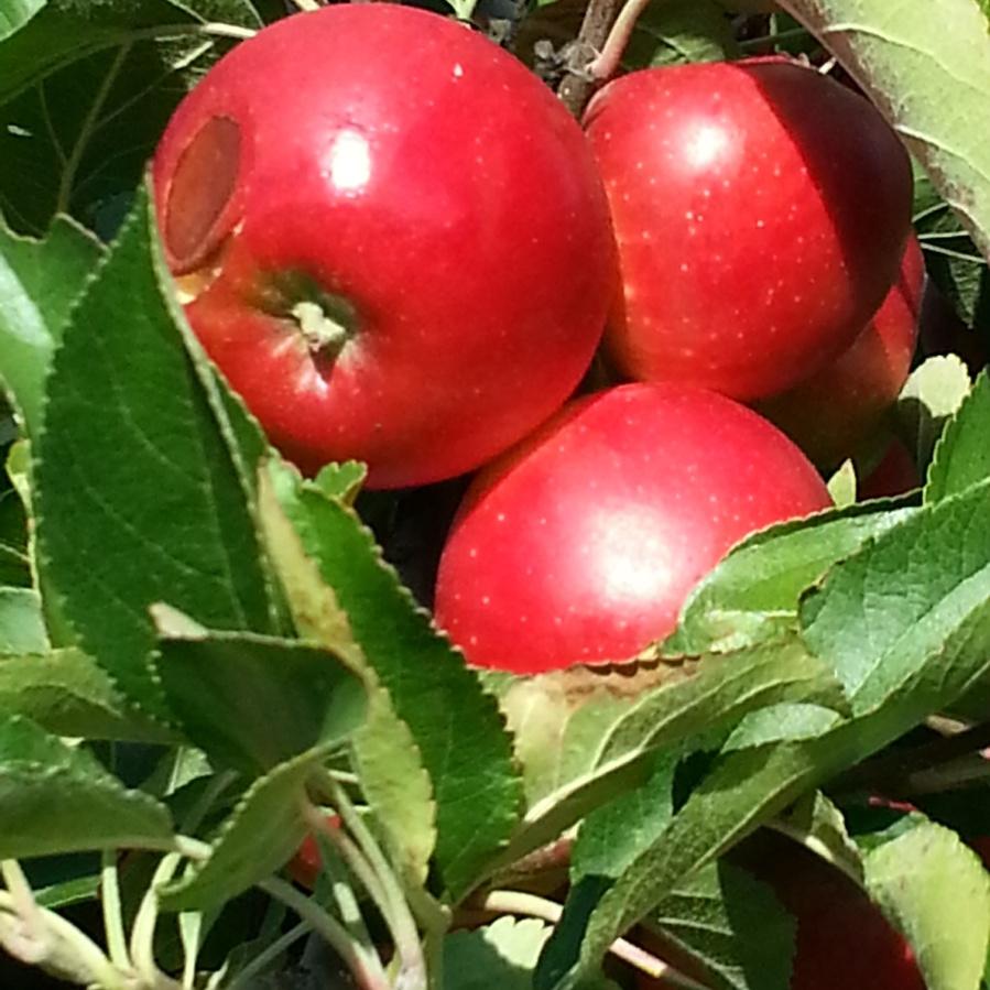 Äpfelpflücken – der Herbst ist da! Oder: zum Glück erstmalOktober.